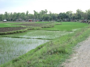 Chitwan paddy fields