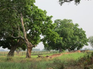 Kapilvastu  site trees